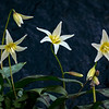 Fawn Lillies 7612