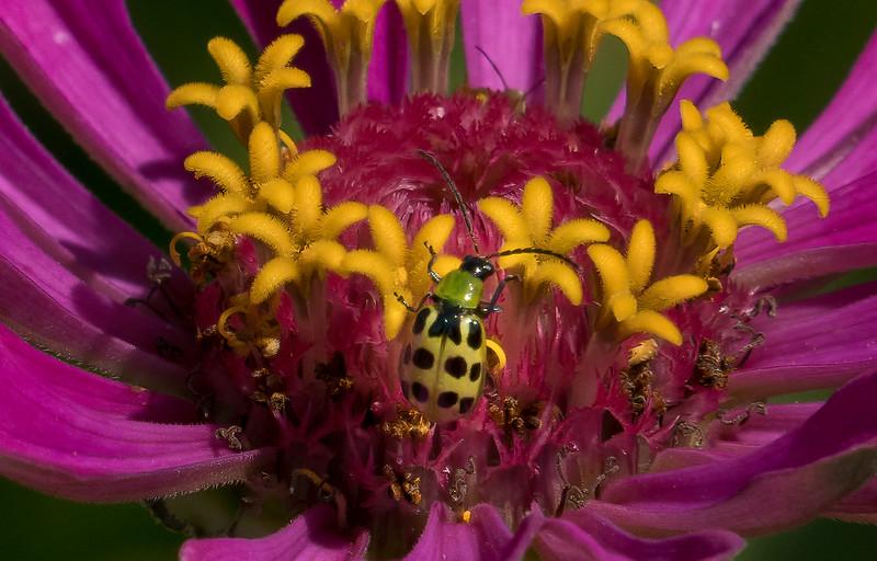 Green Ladybug on Zinnia