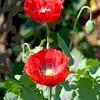 Poppies11
