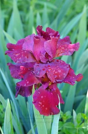 Water Drop Iris