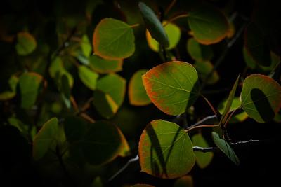 Aspen Leaves 3