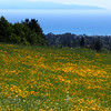 Field of Poppies, UCSC, Spring 2014