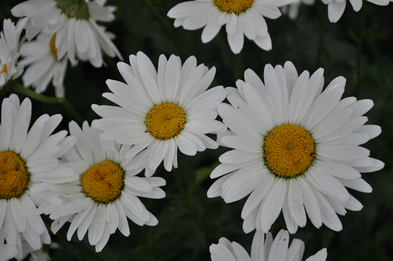 Daisies at the house