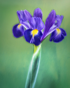 Dutch Iris Impression