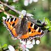 Tortoiseshell Butterfly On Plum Blossom