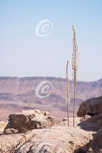 Two Mediterranean Sea Squill Flower Stalks on the Rim of the Makhtesh Ramon Crater in Israel