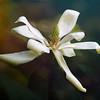 Magnolia (2)