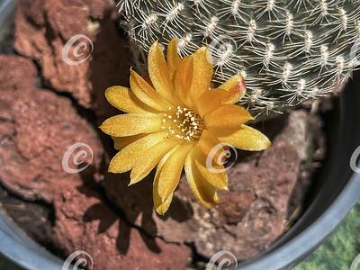 Macro of a Tiny Bright Orange Sulcorebutia Arenacea Cactus Flower