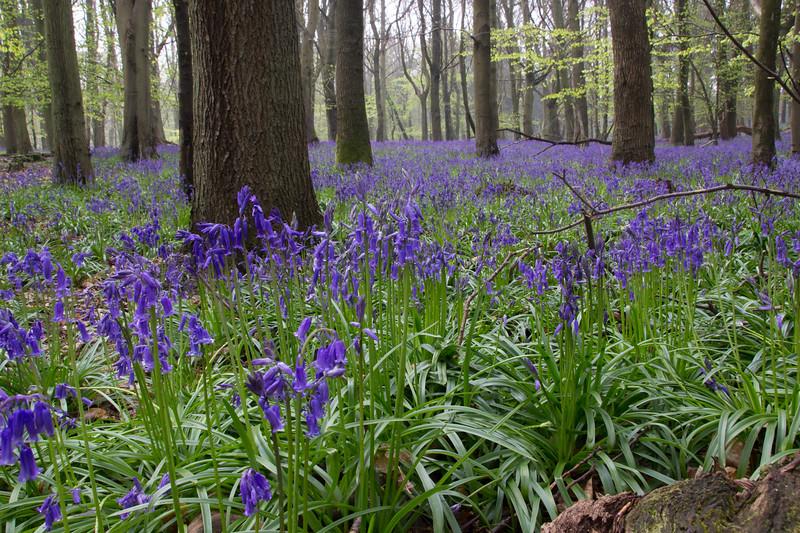 Blue Bell Wood 4