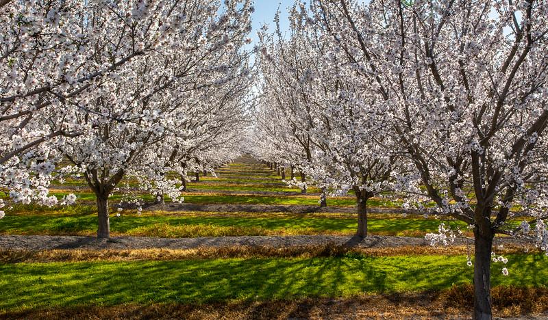 Almond Orchard 2284
