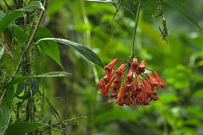 Alstroemeriaceae -  Bomarea acutifolia