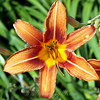 Nothing Says Summer Like an Orange Daylily