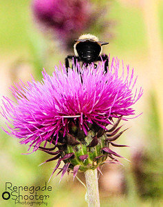 bee on top of purple thistle