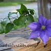 Clematis Flower 139