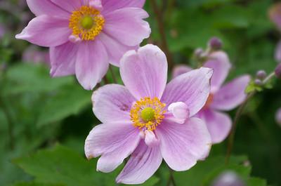 Pink Japanese Aemone flowers