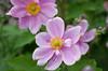 Japanese Aemone flowers