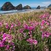 Coastal Lupines