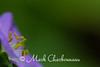 Wild Geranium profile