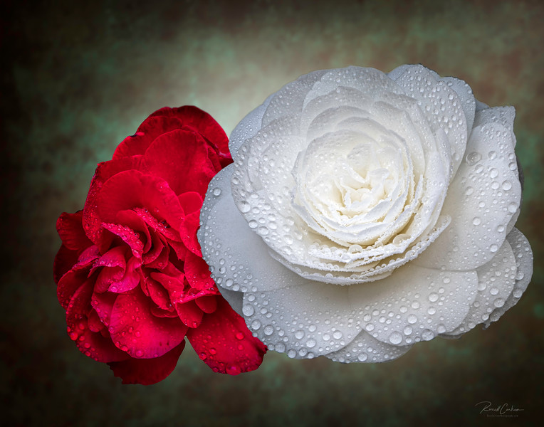 Two Camellias
