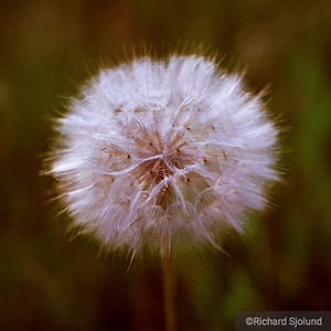 Yellow Goatsbeard seed head