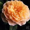 Peach Rose Picture