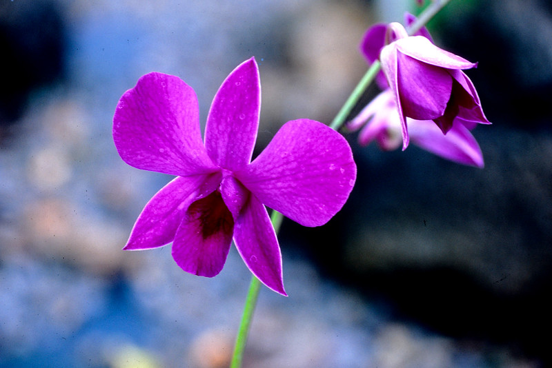 Orchid In Paradise
