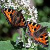 Two Tortoiseshell Butterflies on White Buddliea