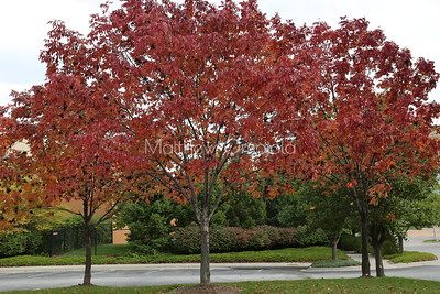 Red leaves tree in fall. Acer rubrum, the red maple, swamp, water, soft maple,