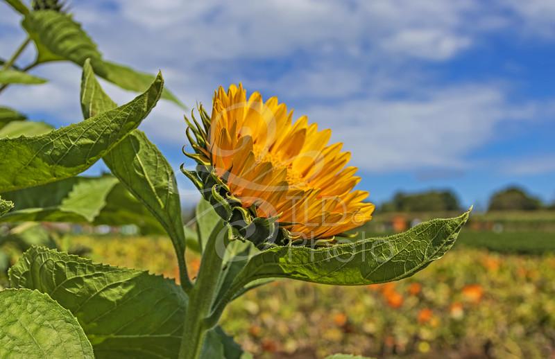 TLD_Sunflower Sky