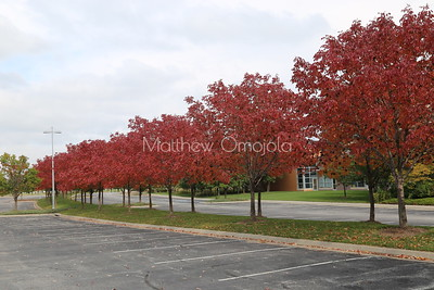 Acer rubrum, the red maple, swamp, water soft maple,