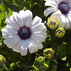 White African Daisy