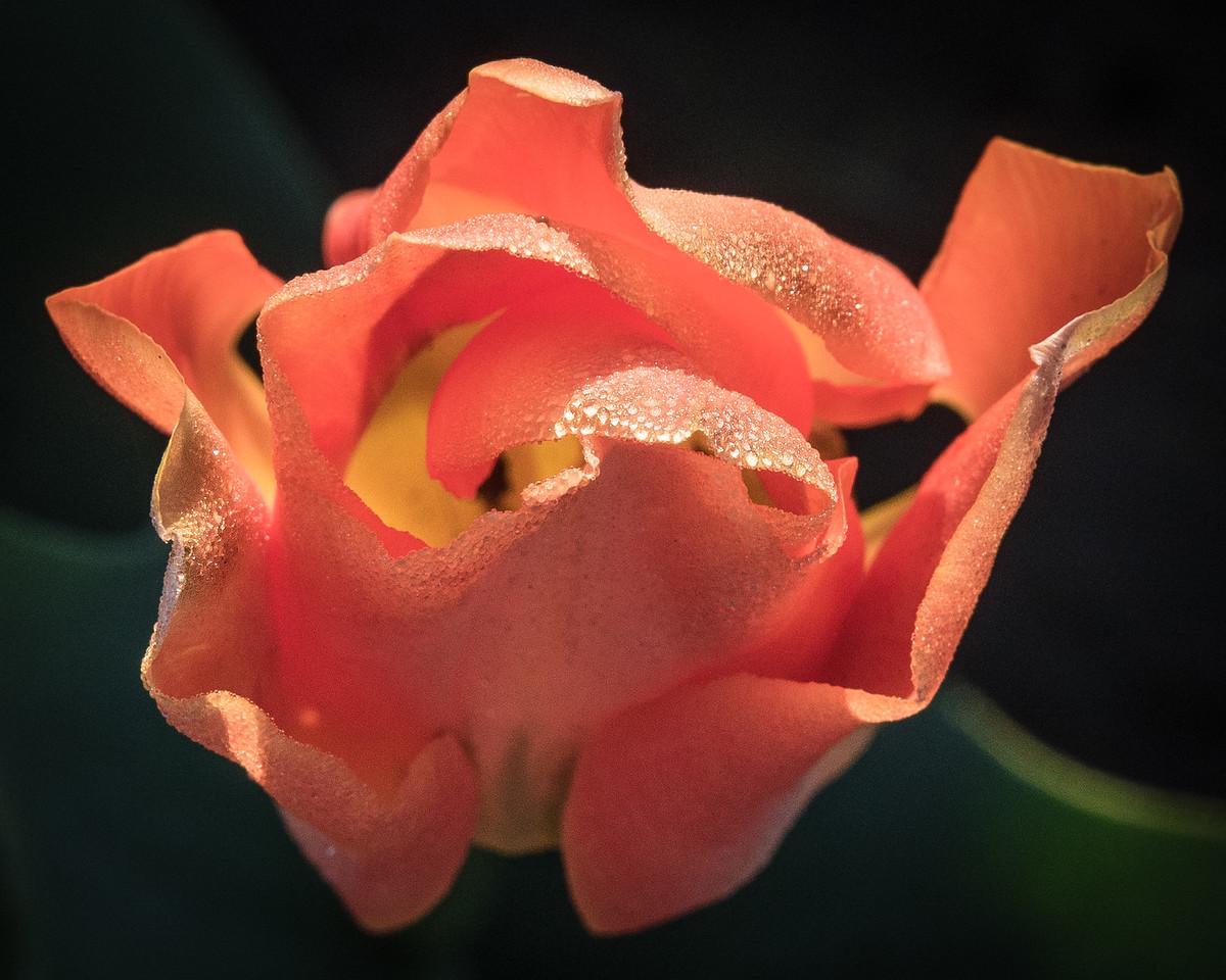 Orange Tulip with Frosty Dew
