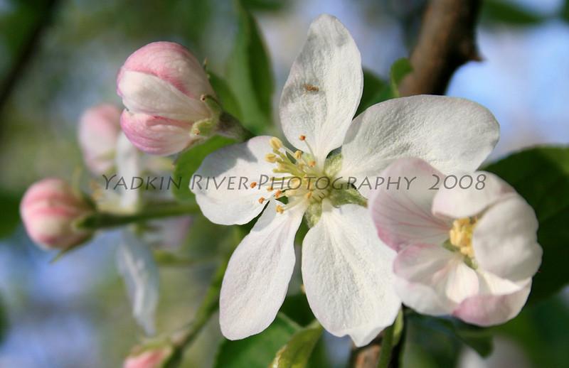 Apple Blossom 2008