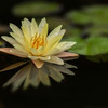 Reflection Of A Waterlily