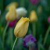 Tulip Strokes