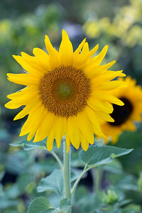 Sunflower-005__J4A0067