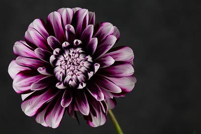 dahlia (5 of 12)