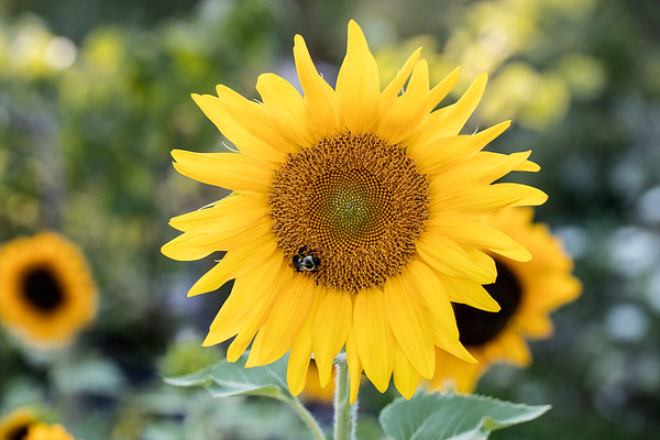 Sunflower-004__J4A0066