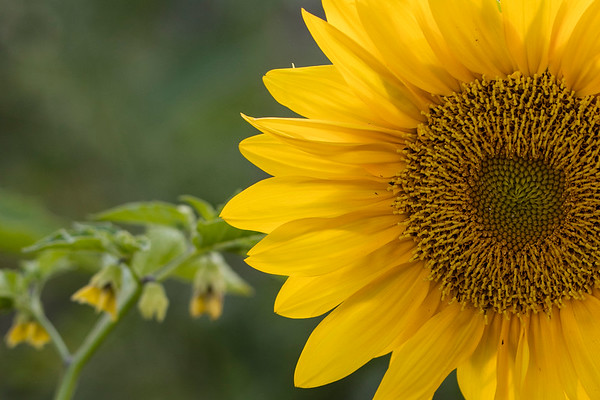 Sunflower-007__J4A0080