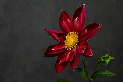 dahlia (8 of 12)