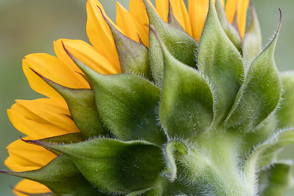 Sunflower-009__J4A0087