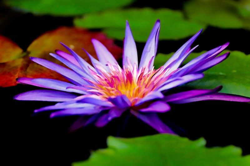 Water Lily On African Pond