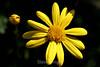 Euryops Daisy (11) D