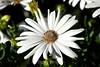 Osteospermum (30) D