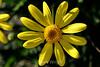 Euryops Daisy (22) D