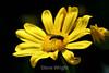 Euryops Daisy (21) D