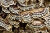 Trametes versicolor mushrooms - Garrapata (2)