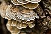 Trametes versicolor mushrooms - Garrapata (3)