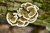 Trametes Versicolor Mushrooms - Allegany State Park (1)