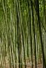 Bamboo - Hakone Gardens #8637